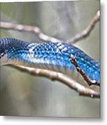 Blue Racer Snake Metal Print by Jeramie Curtice
