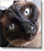 Blue Siamese Eyes Metal Print
