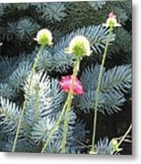 Blue Spruce And A Wish Metal Print by Shawn Hughes