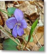 Blue Violet Wildflower - Viola Spp Metal Print