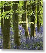 Bluebells In The Woods Metal Print