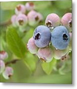Blueberries (vaccinium Sp.) Metal Print