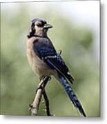 Bluejay - Bird Metal Print