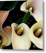 Blushing Calla Lilies Metal Print