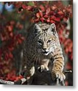 Bobcat Felis Rufus Walks Along Branch Metal Print