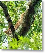 Bobcat In Tree Metal Print