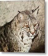 Bobcat Iv Metal Print by DiDi Higginbotham