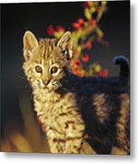 Bobcat Kitten Standing On Log North Metal Print