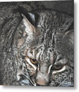 Bobcat Love Metal Print by DiDi Higginbotham