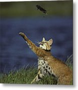 Bobcat Toys With Vole Metal Print