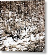 Bobcat Winter Metal Print