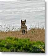 Bodega Bay Bobcat Metal Print by Mitch Shindelbower