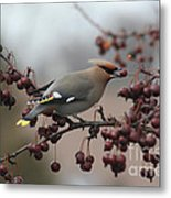 Bohemian Waxwing Metal Print by Chris Hill