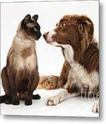 Border Collie & Siamese Cat Metal Print