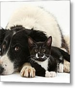 Border Collie And Tuxedo Kitten Metal Print