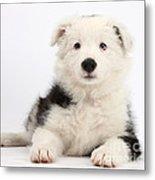 Border Collie Female Puppy Metal Print