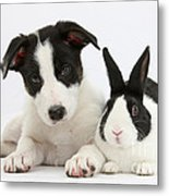 Border Collie Pup And Dutch Rabbit Metal Print