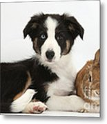 Border Collie Pup And Netherland-cross Metal Print