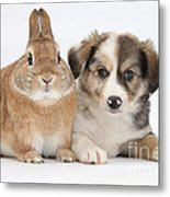 Border Collie Pup And Sandy Metal Print