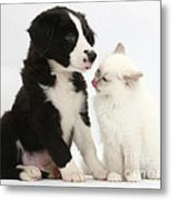 Border Collie Pup And White Kitten Metal Print