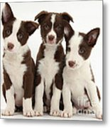 Border Collie Puppies Metal Print