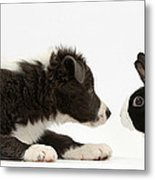 Border Collie Puppy And Rabbit Metal Print