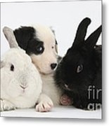 Border Collie Pups With Black Rabbit Metal Print