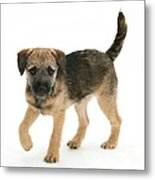 Border Terrier Puppy Metal Print