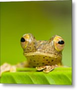 Borneo Red Flying Frog (rhacophorus Pardalis), Danum Valley, Primary Forest, Sabah, Borneo, Malaysia Metal Print