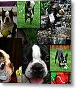 Boston Terrier Photo Collage Metal Print