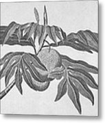 Botany: Breadfruit Tree Metal Print