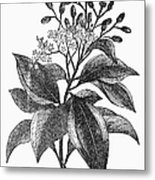 Botany: Cinnamon Tree Metal Print