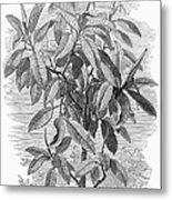 Botany: Ficus Elastica Metal Print