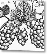Botany: Grapes Metal Print by Granger