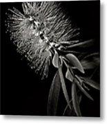 Bottlebrush In Black And White Metal Print