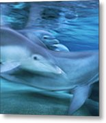 Bottlenose Dolphins Swimming Hawaii Metal Print