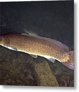 Bowfin Amia Calva Swims The Murky Metal Print