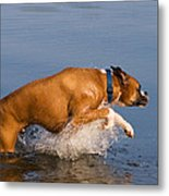Boxer Playing In Water Metal Print