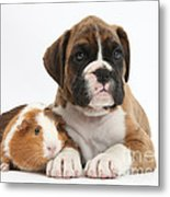 Boxer Puppy And Guinea Pig Metal Print