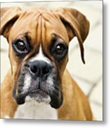 Boxer Puppy Metal Print by Jody Trappe Photography