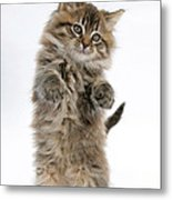 Boxing Kitten Metal Print