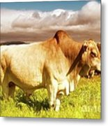 Brahma Bull And Harem Metal Print by Gus McCrea