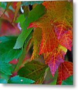 Brilliant Red Maple Leaves Metal Print