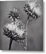 Bristle Thistle In Black And White Metal Print