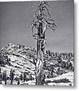 Bristlecone Pine - High Sierra Metal Print