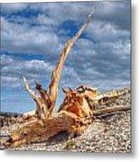 Bristlecone Pine In Repose Metal Print