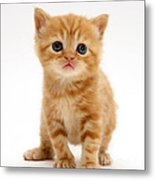 British Shorthair Red Tabby Kitten Metal Print