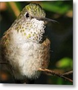 Broadbill Hummingbird Metal Print