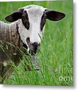 Brown And White Sheep Metal Print