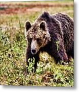 Brown Bear 210 Metal Print